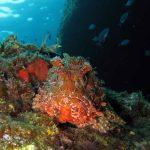 scorfano rosso 13 150x150 Scorpaena scrofa   Scorfano rosso