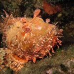 scorfano rosso 16 150x150 Scorpaena scrofa   Scorfano rosso