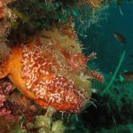 scorfano rosso 20 150x150 Scorpaena scrofa   Scorfano rosso