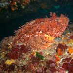 Scorpaena scrofa - Scorfano rosso