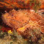 scorfano rosso 40 150x150 Scorpaena scrofa   Scorfano rosso
