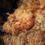 scorfano rosso 43 150x150 Scorpaena scrofa   Scorfano rosso