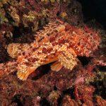 scorfano rosso 44 150x150 Scorpaena scrofa   Scorfano rosso