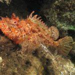 scorfano rosso 49 150x150 Scorpaena scrofa   Scorfano rosso