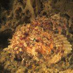 scorfano rosso 51 150x150 Scorpaena scrofa   Scorfano rosso