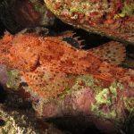 scorfano rosso 53 150x150 Scorpaena scrofa   Scorfano rosso