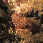 scorfano rosso 63 150x150 Scorpaena scrofa   Scorfano rosso