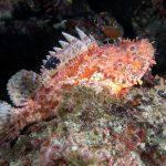 scorfano rosso 66 150x150 Scorpaena scrofa   Scorfano rosso