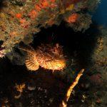 scorfano rosso 76 150x150 Scorpaena scrofa   Scorfano rosso