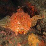 scorfano rosso 78 150x150 Scorpaena scrofa   Scorfano rosso