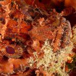 scorfano rosso 82 150x150 Scorpaena scrofa   Scorfano rosso