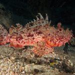 scorfano rosso 86 150x150 Scorpaena scrofa   Scorfano rosso