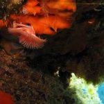 serpula 13 150x150 Serpula vermicularis   Serpula