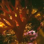 sferococco 01 150x150 Nemastoma dumontoides   Alga nemastoma