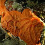 spirastrella 69 150x150 Spirastrella cunctatrix   Spirastrella