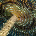 spirografo spallanzani 124 150x150 Sabella spallanzani   Spirografo spallanzani