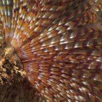 spirografo spallanzani 41 150x150 Sabella spallanzani   Spirografo spallanzani