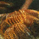 spirografo spallanzani 56 150x150 Sabella spallanzani   Spirografo spallanzani