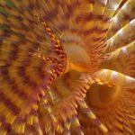 spirografo spallanzani 58 150x150 Sabella spallanzani   Spirografo spallanzani