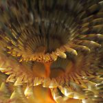 spirografo spallanzani 61 150x150 Sabella spallanzani   Spirografo spallanzani