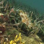 spirografo spallanzani 64 150x150 Sabella discifera   Sabella piccola