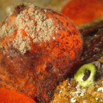 spugna arancia dimare 24 150x150 Tethya aurantium, Spugna arancia di mare