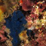 spugna blu 10 150x150 Terpios caerulea   Spugna blu