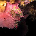 spugna exadella 23 150x150 Hexadella racovitzai   Spugna rosa exadella