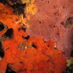 spugna exadella 25 150x150 Hexadella racovitzai   Spugna rosa exadella