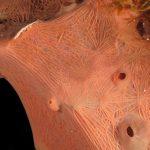 spugna exadella 26 150x150 Hexadella racovitzai   Spugna rosa exadella