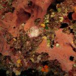 spugna exadella 40 150x150 Hexadella racovitzai   Spugna rosa exadella