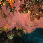 spugna exadella 42 150x150 Hexadella racovitzai   Spugna rosa exadella