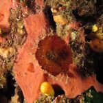 spugna exadella 49 150x150 Hexadella racovitzai   Spugna rosa exadella