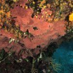 spugna exadella 52 150x150 Hexadella racovitzai   Spugna rosa exadella