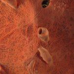 spugna exadella 53 150x150 Hexadella racovitzai   Spugna rosa exadella