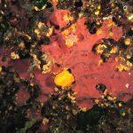spugna exadella 59 150x150 Hexadella racovitzai   Spugna rosa exadella