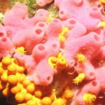 spugna haliclona 01 150x150 Haliclona mediterranea   Spugna aliclona