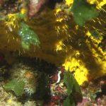 spugna incrostante gialla 01 150x150 Spugna incrostante gialla