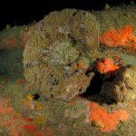 spugna nera 49 150x150 Sarcotragus foetidus   Spugna nera