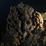 spugna nera 61 150x150 Sarcotragus foetidus   Spugna nera