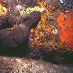 spugna rognone dimare 01 150x150 Chondrosia reniformis   Spugna rognone di mare