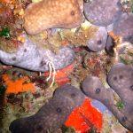 spugna rognone dimare 06 150x150 Chondrosia reniformis   Spugna rognone di mare