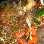 spugna rognone dimare 08 150x150 Chondrosia reniformis   Spugna rognone di mare