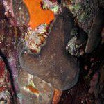 spugna rognone dimare 11 150x150 Chondrosia reniformis   Spugna rognone di mare
