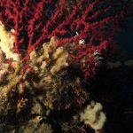 spugna spinosa 13 150x150 Pleuraplysilla spinifera   Spugna spinosa