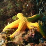 stella arancio 03 150x150 Hacelia attenuata   Stella arancio