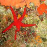 stella arancio 08 150x150 Hacelia attenuata   Stella arancio