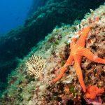 stella arancio 12 150x150 Hacelia attenuata   Stella arancio