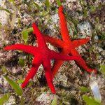 stella arancio 13 150x150 Hacelia attenuata   Stella arancio