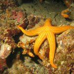 stella arancio 14 150x150 Hacelia attenuata   Stella arancio